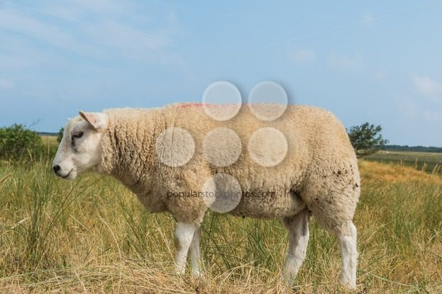 Sheep eating grass in summer – Popular Stock Photos