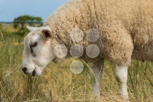 Sheep eating grass in summer close-up - Popular Stock Photos