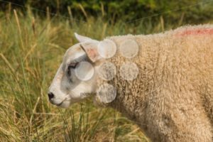 Sheep in grass in summer close-up - Popular Stock Photos