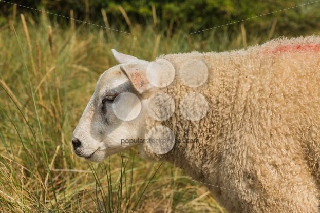 Sheep in grass in summer close-up – Popular Stock Photos