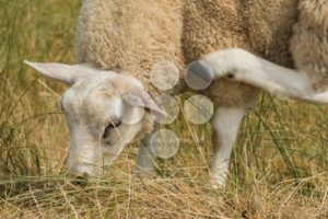 Sheep multi tasking eating scratching - Popular Stock Photos
