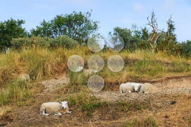 Sheep resting grass in summer – Popular Stock Photos