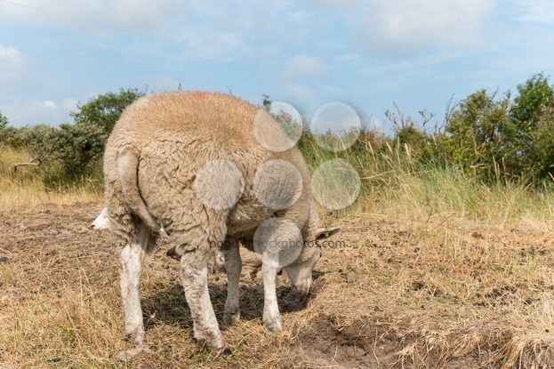 Sheep standing in summer close-up – Popular Stock Photos