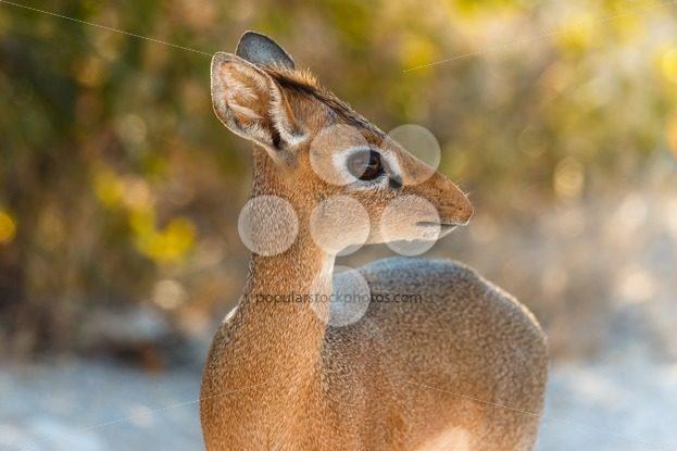 The cutest antelope Dik-Dik – Popular Stock Photos