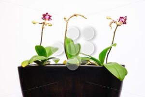Three orchid plants pot new flower - Popular Stock Photos