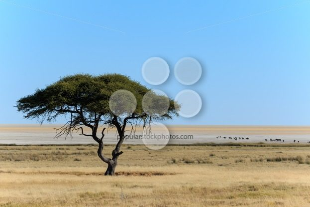 Tree and salt pan with wildebeest – Popular Stock Photos