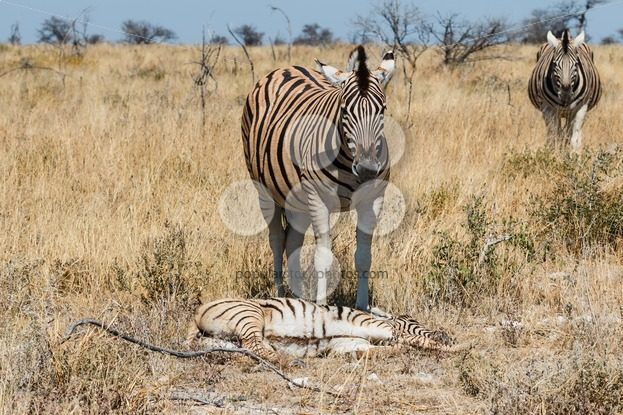 Two adult zebra and one baby resting – Popular Stock Photos