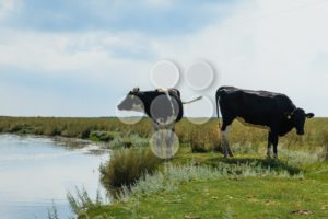 Two dairy cows standing near water - Popular Stock Photos