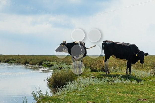 Two dairy cows standing near water – Popular Stock Photos
