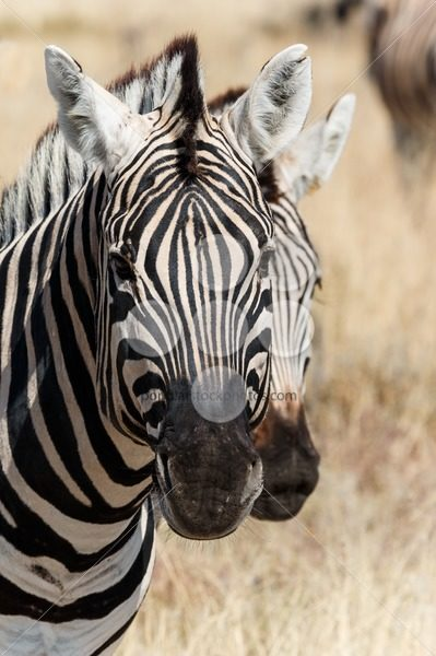 Two zebra heads – Popular Stock Photos