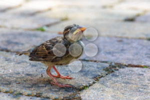 Young sparrow just out of nest - Popular Stock Photos