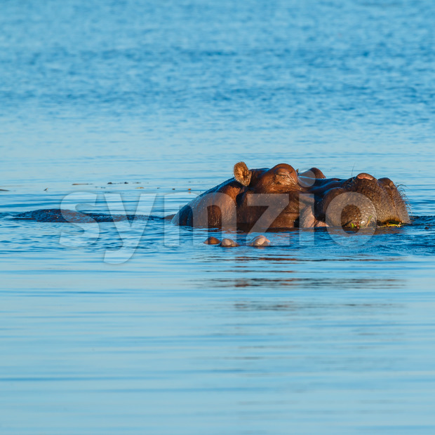 Hippo sleeping and eating in river Stock Photo