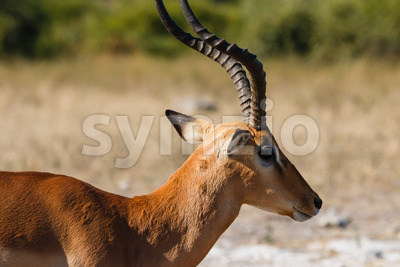 Close up impala Botswana Stock Photo