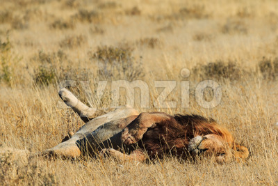 Lion rolling and resting Stock Photo