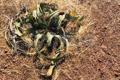 Old welwitschia in desert Namibia Stock Photo