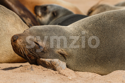Cape fur seal resting on a stone Stock Photo