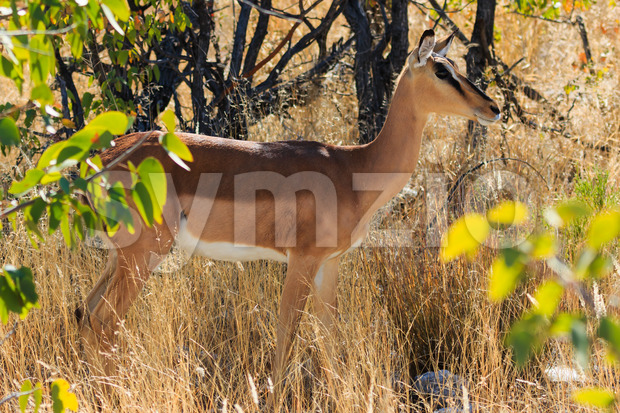 Black-faced impala between grass and trees Namibia Stock Photo