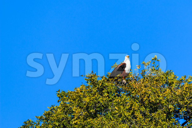 African fish eagle tree with leaves Stock Photo