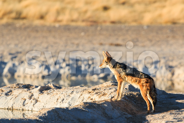 Black backed jackal observe water hole Stock Photo