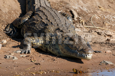 Big crocodile resting riverfront Chobe Botswana Africa Stock Photo