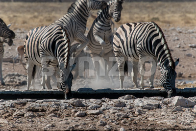 Group of zebras drinking and playing Stock Photo