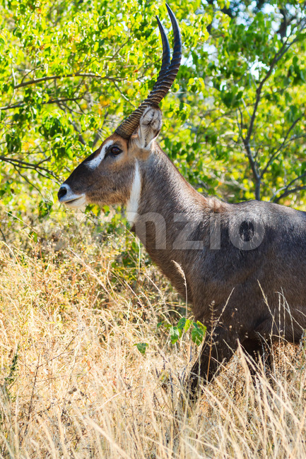 Close up defassa waterbuck Stock Photo