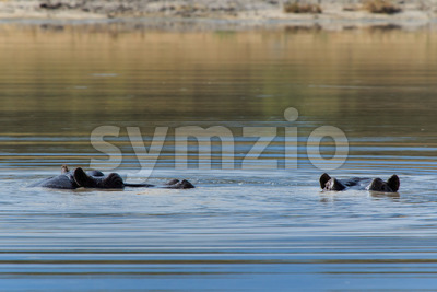 Hippo eyes above water Botswana Moremi Africa Stock Photo