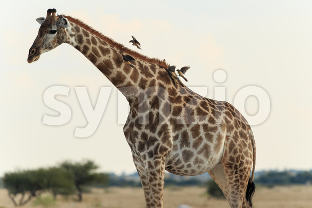 Giraffe with birds Stock Photo