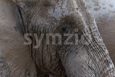 Elephant face Stock Photo