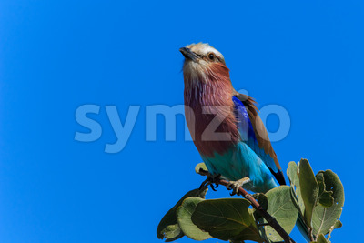Lilac-breasted roller on a branch close up Stock Photo