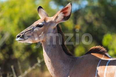 Greater kudu close up in Chobe Botswana Africa Stock Photo