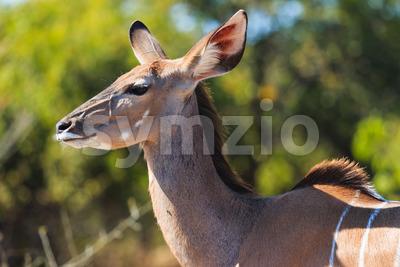 Greater kudu close up in Chobe Botswana Africa Stock Photo