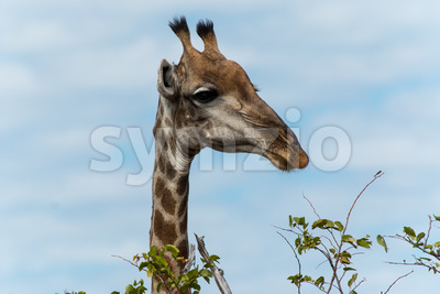 Giraffe going for leafs on tree Stock Photo
