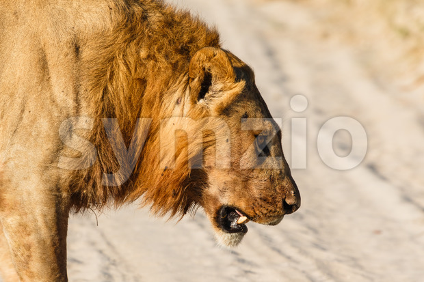 Male lion lost battle Stock Photo