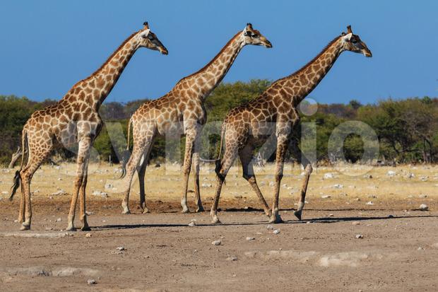 Giraffes, three in a row Stock Photo