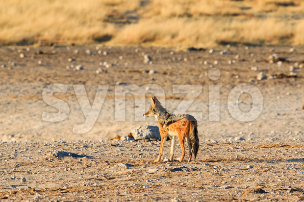 Black backed jackal observing salt pan Stock Photo