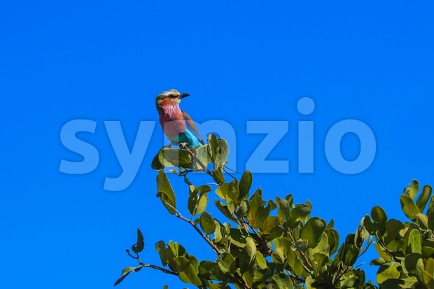 Lilac-breasted roller branch tree Stock Photo
