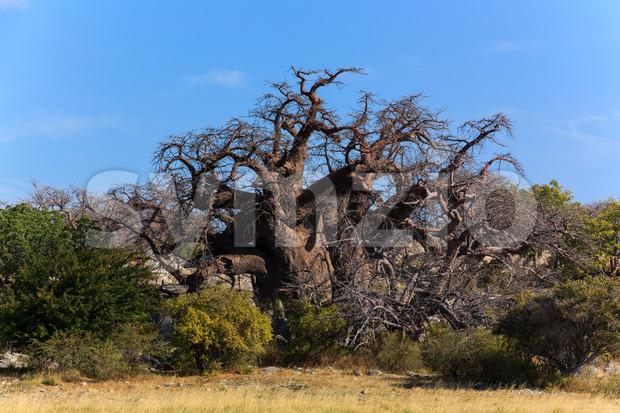A big african baobab standing on kubu island in Botswana.