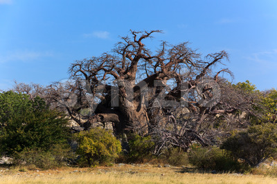 Big african baobab Botswana Stock Photo