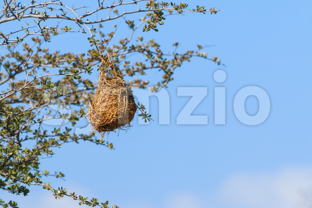 Nest weaver bird hanging on branch Stock Photo