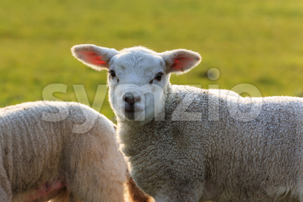 Cute young lamb halo Stock Photo