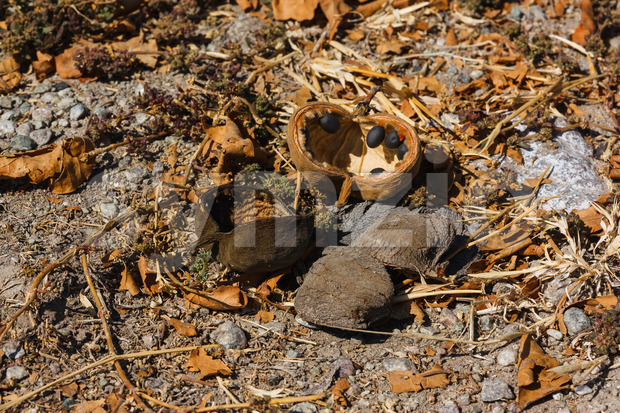 Baobab tree fruit and seeds fallen on the ground Stock Photo