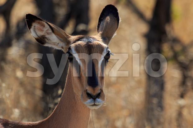 Close up head black-faced impala in Namibia Stock Photo