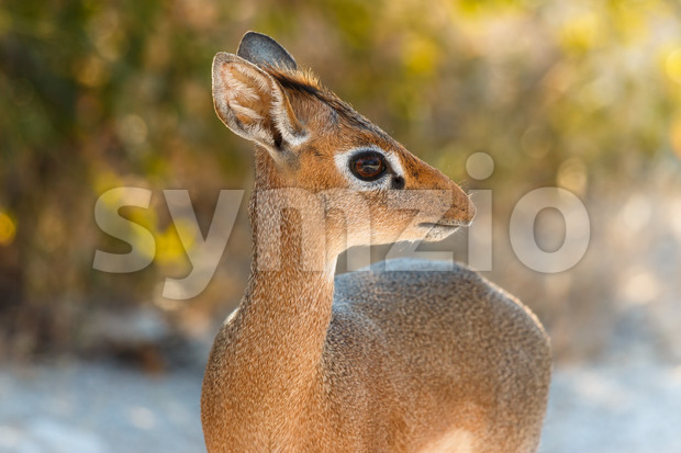 The cutest antelope Dik-Dik Stock Photo