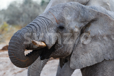 Elephant drinking Stock Photo