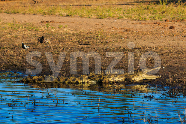 Big crocodile resting and cooling on riverfront Chobe, Botswana, Africa. Bird is a few meters away and has no fear.