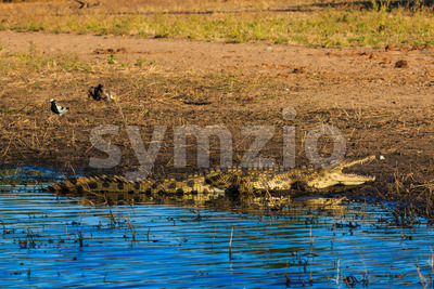 Crocodile resting and cooling riverfront Chobe Botswana Africa Stock Photo