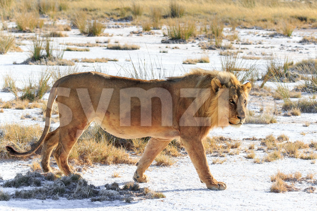 Male lion walking saltpan Stock Photo