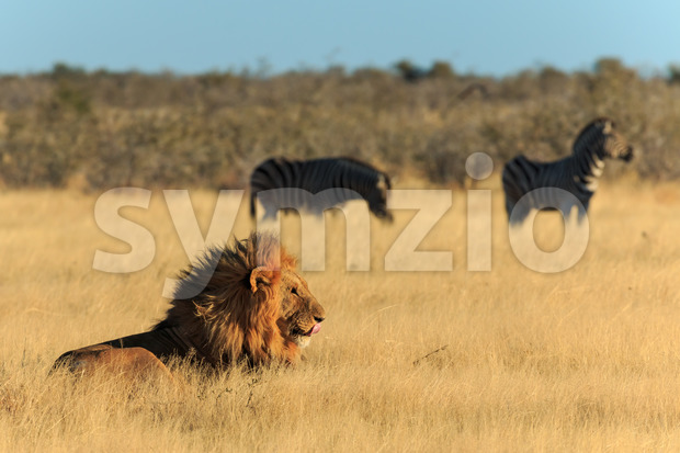 Lion licking his mouth, zebras background have no fear Stock Photo