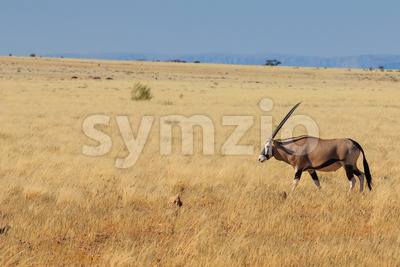 Gemsbok or gemsbuck oryx walking in Namib Desert Stock Photo